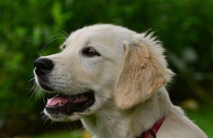 perro de raza golden gasparadiestradorcanino