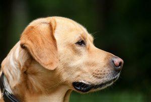 perro de raza labrador gasparadiestradorcanino