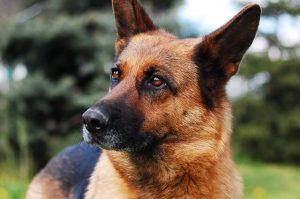 perro de raza pastor alemán gasparadiestradorcanino